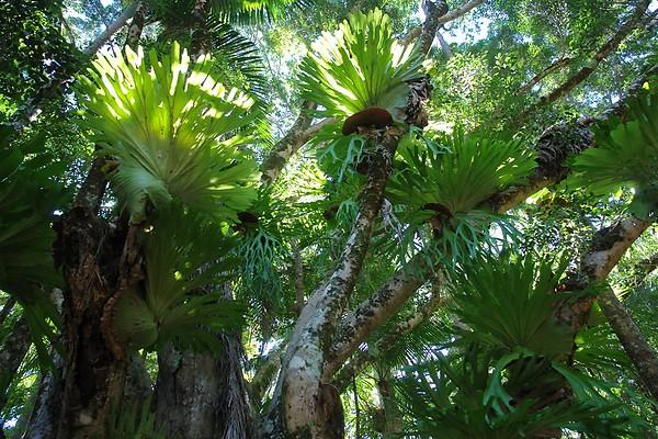 Staghorn and Elkhorn tree fern canopy - Fraser Island